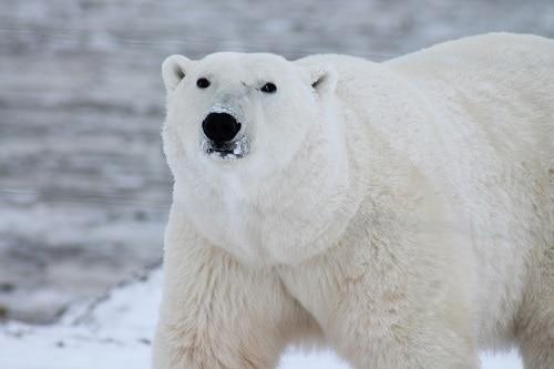 paniekstoornis ijsbeer