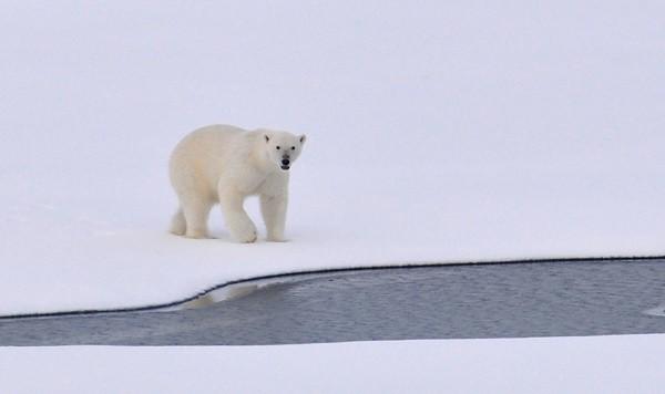 Slapeloosheid witte ijsbeer